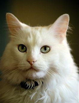 tiffany-cat_112811