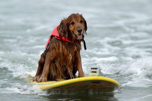 best-2012-surfing-dog-challenge-photos6