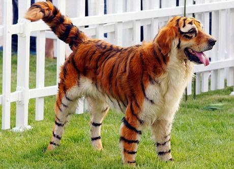 column_dog-halloween-costume-spray-paint-tiger