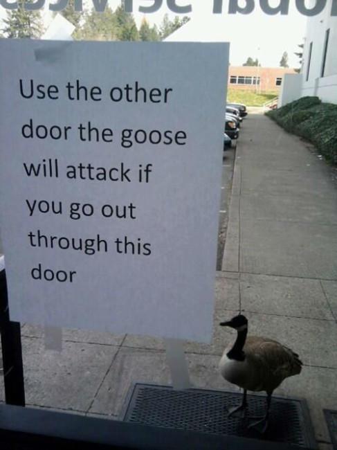 goose-attack
