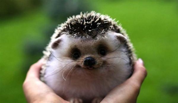 smiling-hedgehog