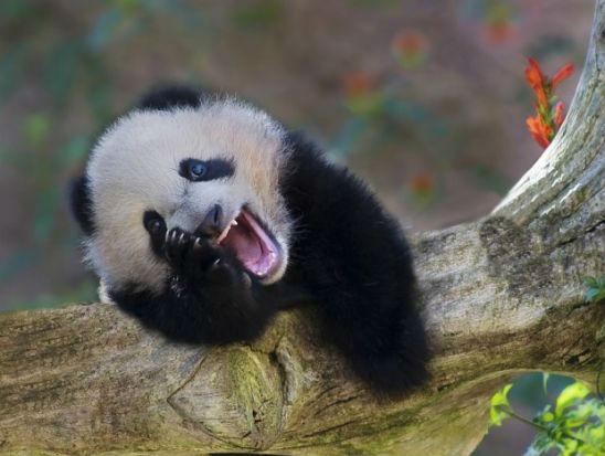 smiling-panda